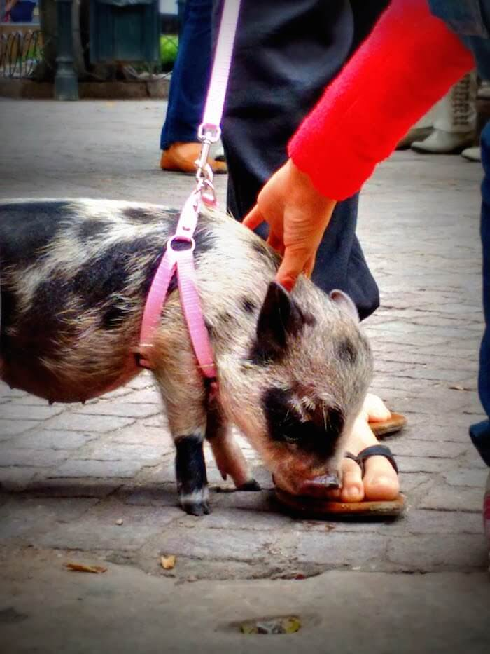 A pig in the town square